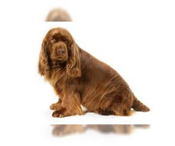 Medium Photo #7 Sussex Spaniel Dog Breed