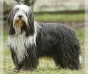 Small #7 Breed Bearded Collie image