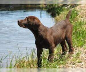 Small #7 Breed Chesapeake Bay Retriever image