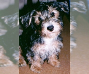 Image of Lucas Terrier breed
