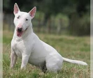 Small #4 Breed Bull Terrier image