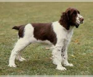 Small #6 Breed English Springer Spaniel image