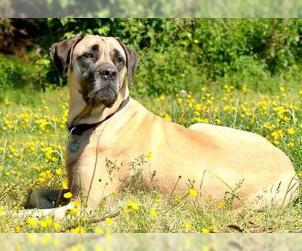 Image of American Mastiff Breed