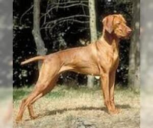 Small Photo #3 Vizsla Dog Breed