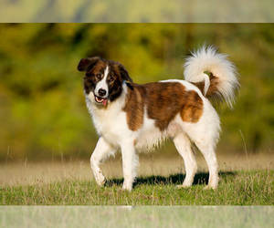 Small Photo #1 Aidi Dog Breed