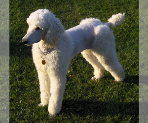 Image of breed Poodle (Standard)