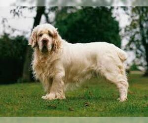 Small #2 Breed Clumber Spaniel image