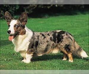 Small #2 Breed Cardigan Welsh Corgi image