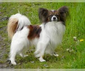 Small #6 Breed Papillon image