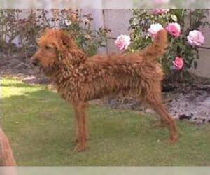 Small #4 Breed Irish Terrier image