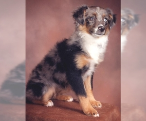 Image of North American Shepherd breed