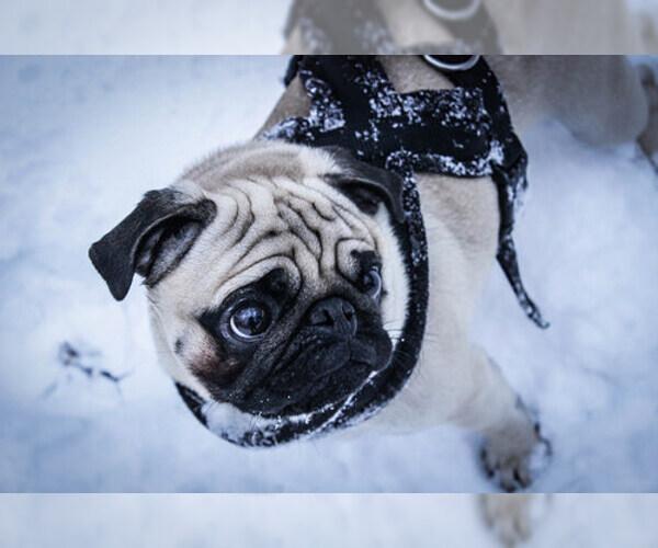 Medium Photo #8 Pug Dog Breed