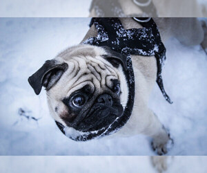 Small Photo #8 Pug Dog Breed