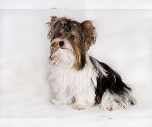 Image of Biewer Terrier Breed