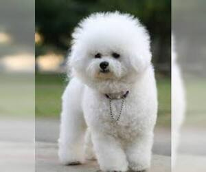 Small #3 Breed Bichon Frise image