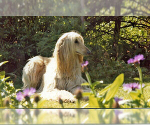 Small Photo #12 Afghan Hound Dog Breed