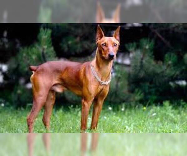 Medium Photo #6 German Pinscher Dog Breed