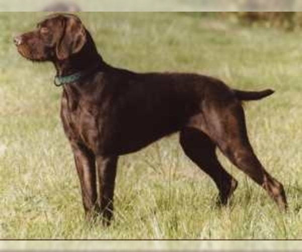 Image of Pudel Pointer Breed