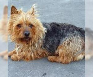 Small #2 Breed Australian Terrier image