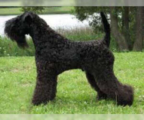 Medium Photo #4 Kerry Blue Terrier Dog Breed
