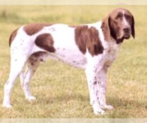 Image of Old Danish Pointing Dog breed