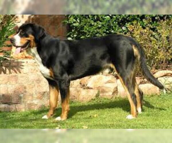 Medium Photo #3 Greater Swiss Mountain Dog Dog Breed
