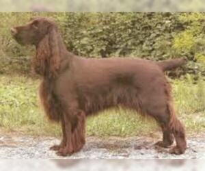 Small #5 Breed Field Spaniel image