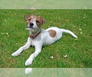 jack russell terrier hypoallergenic parson russell terrier breed information and pictures on 3791