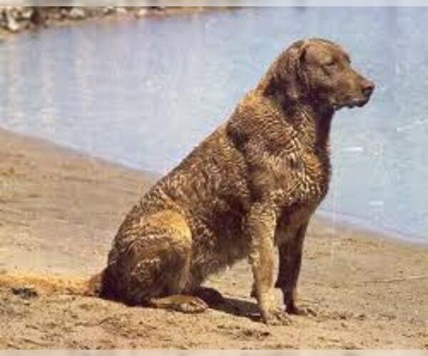 Medium Photo #6 Chesapeake Bay Retriever Dog Breed