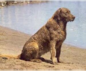 Chesapeake Bay Retriever Breed Information And Pictures On