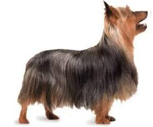 Small #1 Breed Silky Terrier image