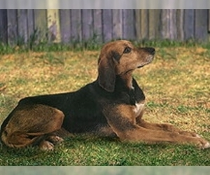 Image of Kerry Beagle breed