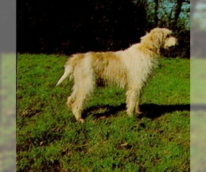 Image of Great Griffon Vendeen Breed