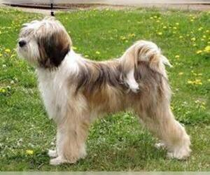 Small Photo #7 Tibetan Terrier Dog Breed