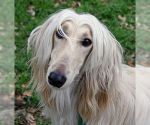 Small Photo #5 Afghan Hound Dog Breed