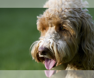 Small #3 Breed Australian Labradoodle image