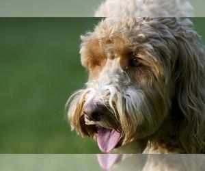 Small Photo #4 Australian Labradoodle Dog Breed