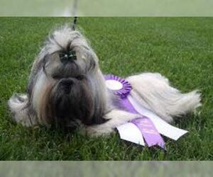 Small #2 Breed Shih Tzu image
