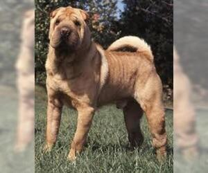 Small Photo #4 Chinese Shar-Pei Dog Breed