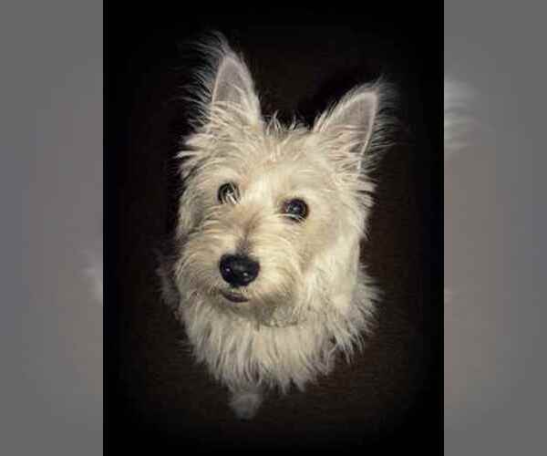 Image of Cairland Terrier Breed