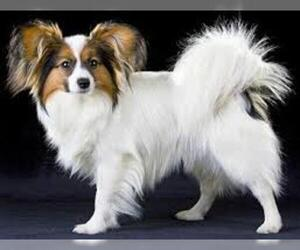 Small #5 Breed Papillon image