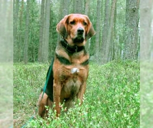 Image of Polish Hound breed