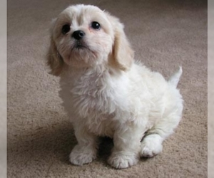 Image of breed Cavachon