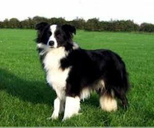 Small #6 Breed Border Collie image
