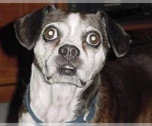 Samll image of Boglen Terrier