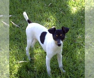 Image of Tenterfield Terrier breed