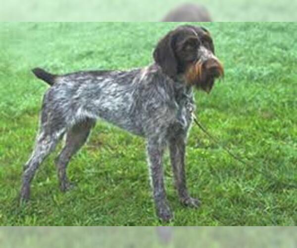 Medium Photo #5 German Wirehaired Pointer Dog Breed