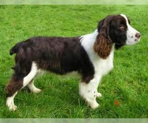 Small #7 Breed English Springer Spaniel image