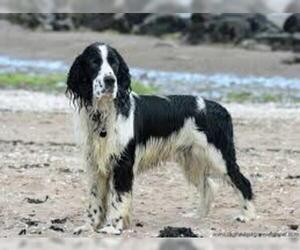 Small #5 Breed English Springer Spaniel image