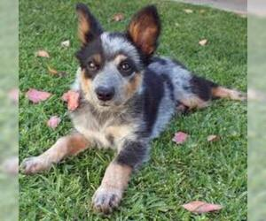 Small #4 Breed Australian Cattle Dog image